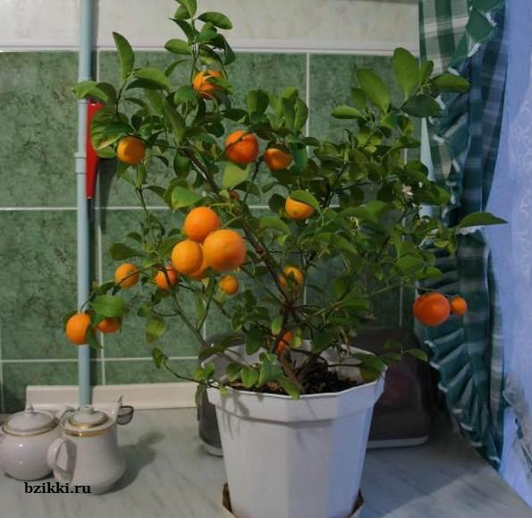 Мандариновое дерево в домашних условиях пошагово